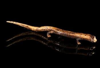 Urodela: Salamanders