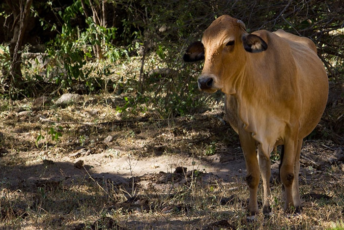 Cattle grazing in Mexico.