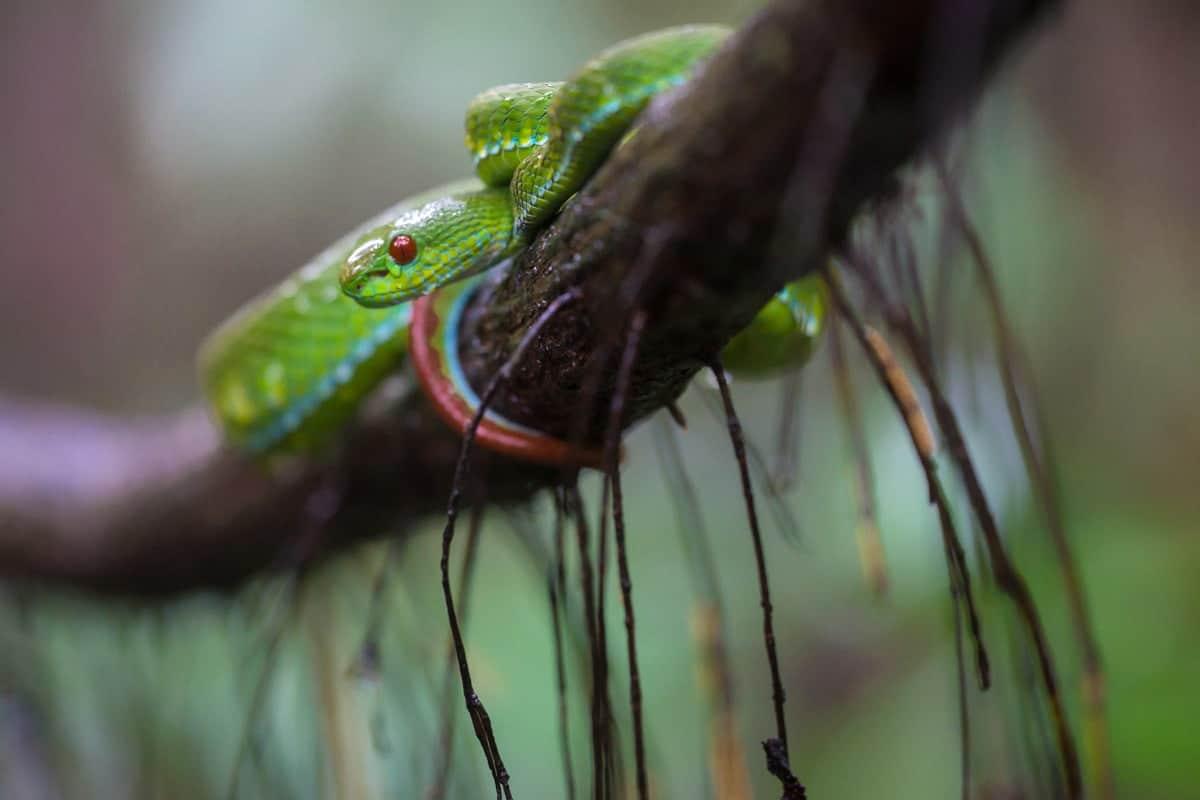 Vietnam Snake