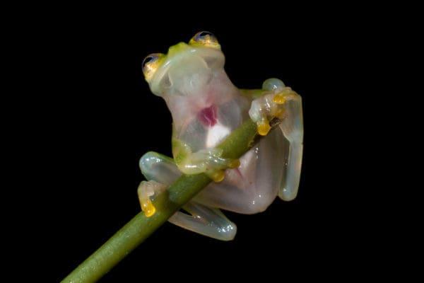Hyalinobatrachium aureoguttatum