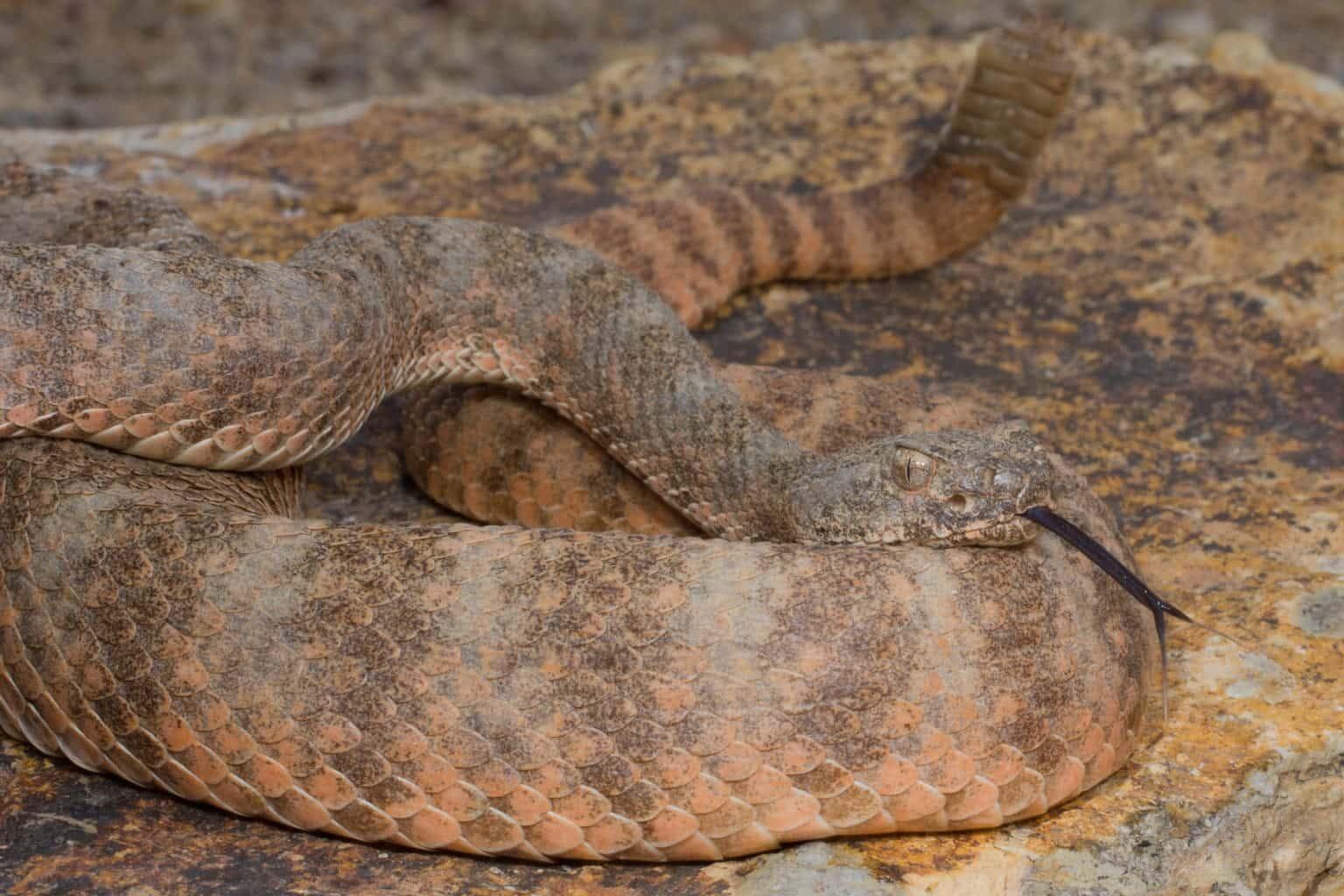 Crotalus tigris, tiger rattlesnake