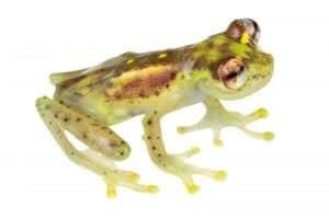 Mindo Glassfrog (Nymphargus balionotus)