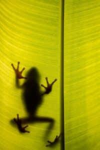 Mexican Leaf Frog
