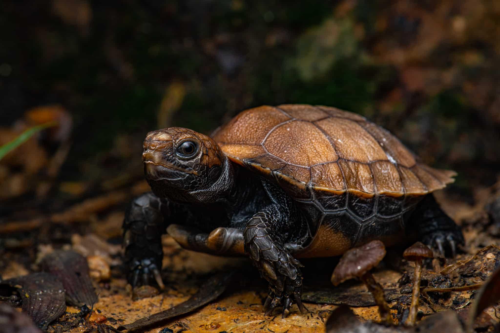 Testudines: Turtles