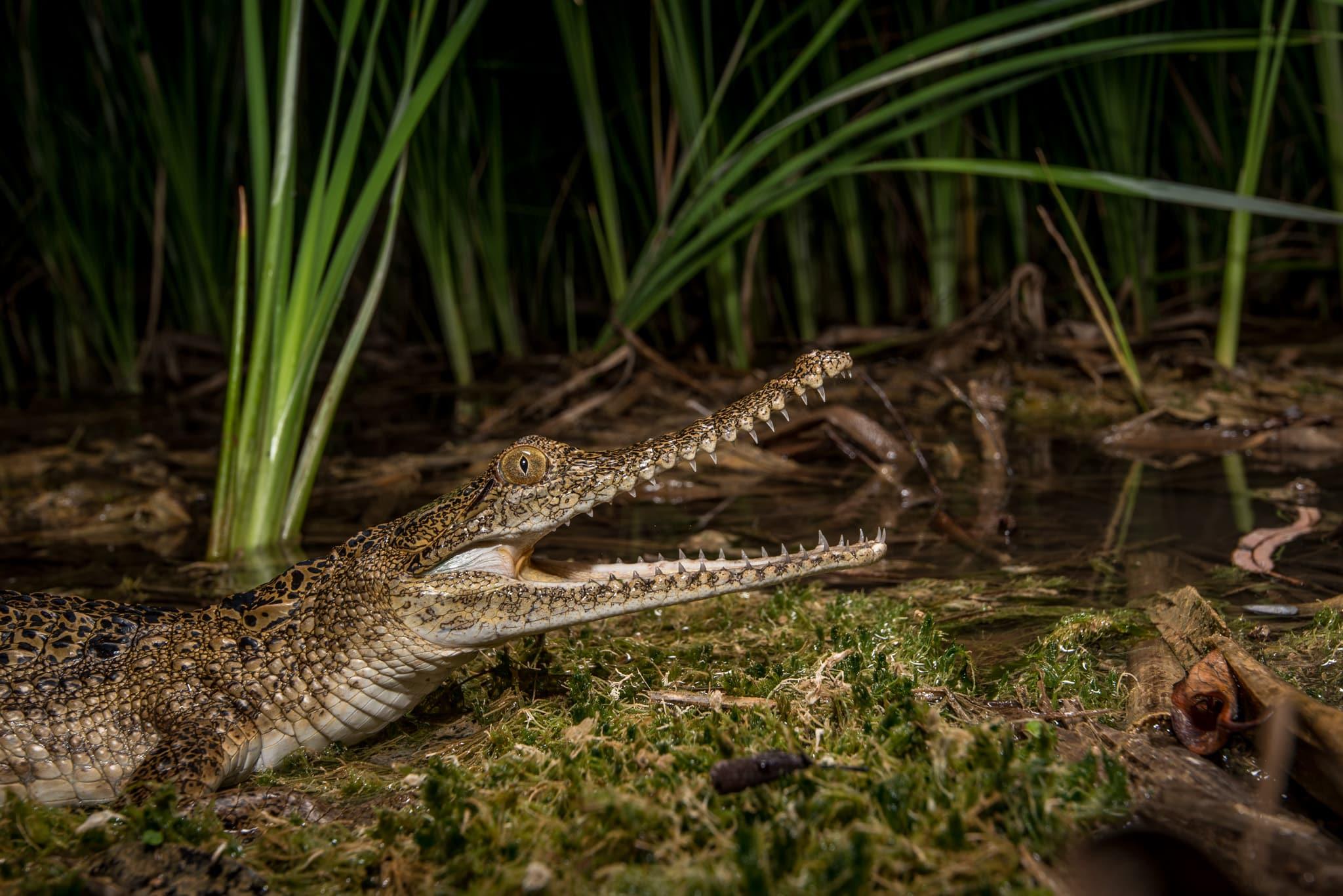 Crocodilia: Crocodiles