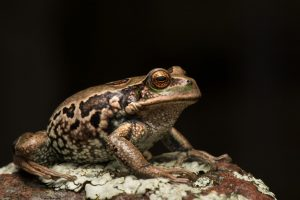 San Lucas Marsupial Frog (Gastrotheca pseustes)
